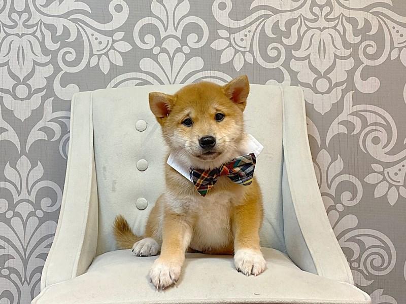 Shiba Inu-Male-RED-2947463-Furry Babies