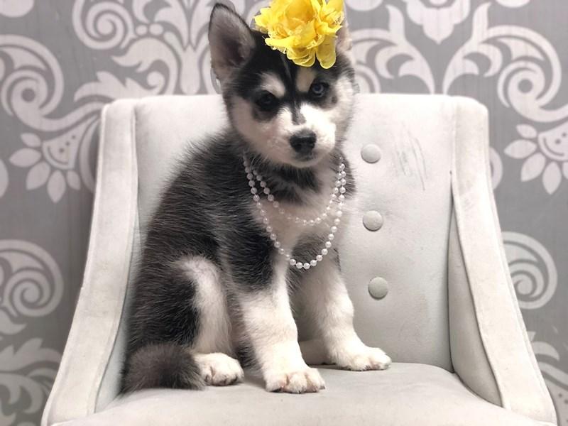 Siberian Husky-Female-Black and White-2956869-Furry Babies