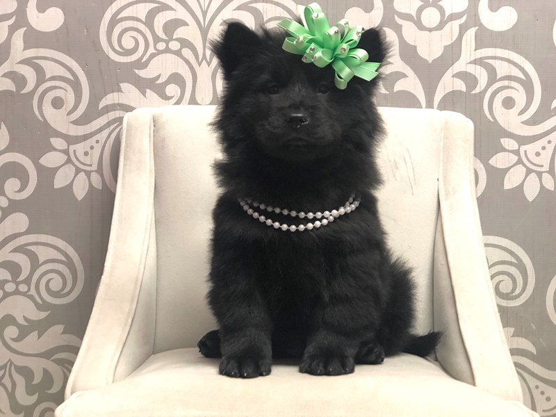 Chow Chow-Female-Black-2955900-Furry Babies
