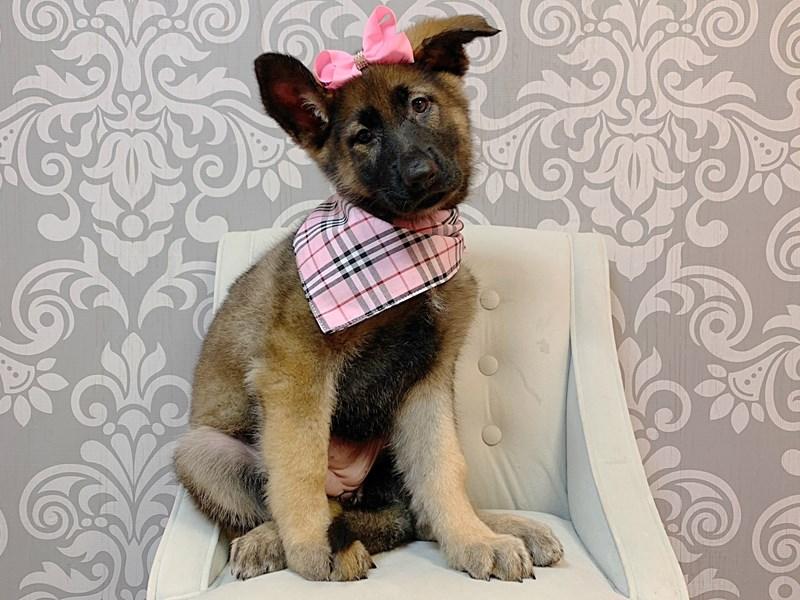 German Shepherd-Female-Black Tan-2979627-Furry Babies