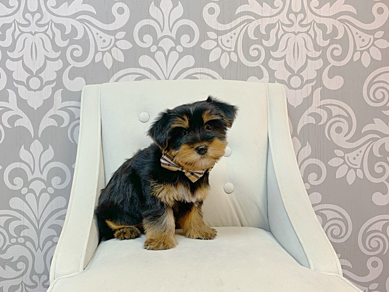 Yorkshire Terrier-Male-BLK TAN-2996851-Furry Babies