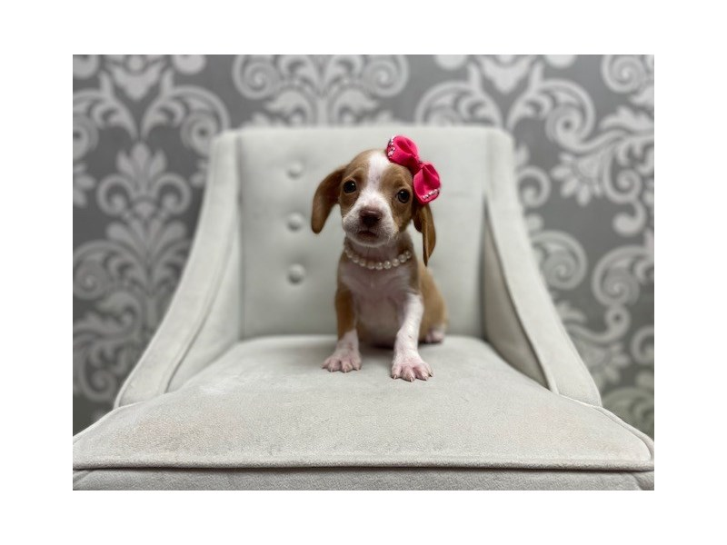 Beagle-Female-lemon and white-3007843-Furry Babies
