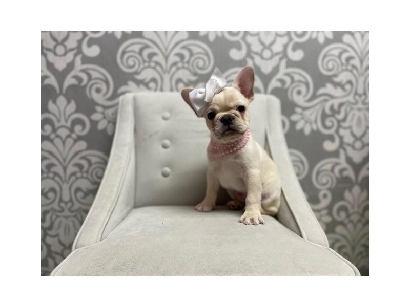 French Bulldog-Female-Cream-3010593-Furry Babies