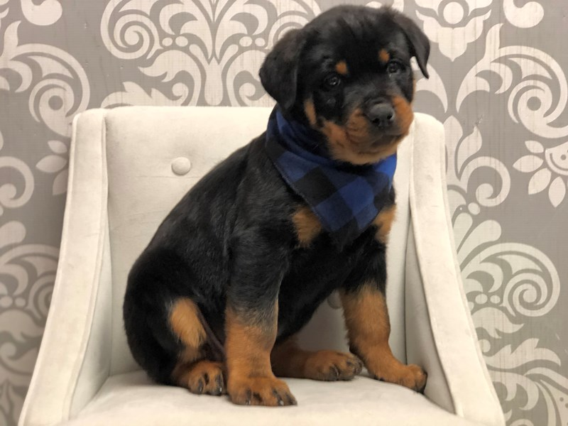 Rottweiler-Male-Black Tan-3014835-Furry Babies