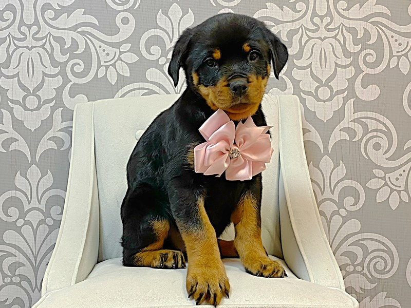 Rottweiler-Female-Black & Tan-3024724-Furry Babies