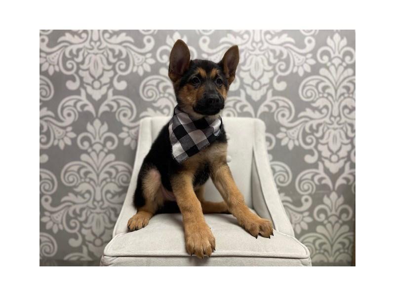 German Shepherd-Male-black tan-3024713-Furry Babies