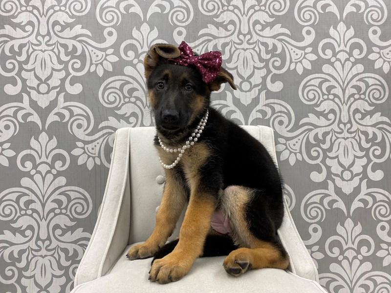 German Shepherd-Female-Black & Tan-3024729-Furry Babies