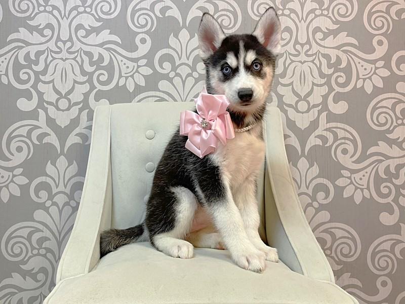 Siberian Husky-Female-Black & WHite-3034762-Furry Babies