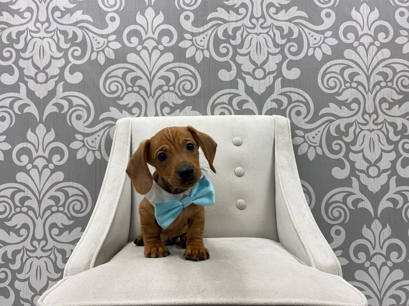 Dachshund-Male-RED-3034833-Furry Babies