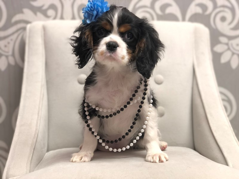 Cavalier King Charles Spaniel-Female-BLENHEIM-3025241-Furry Babies