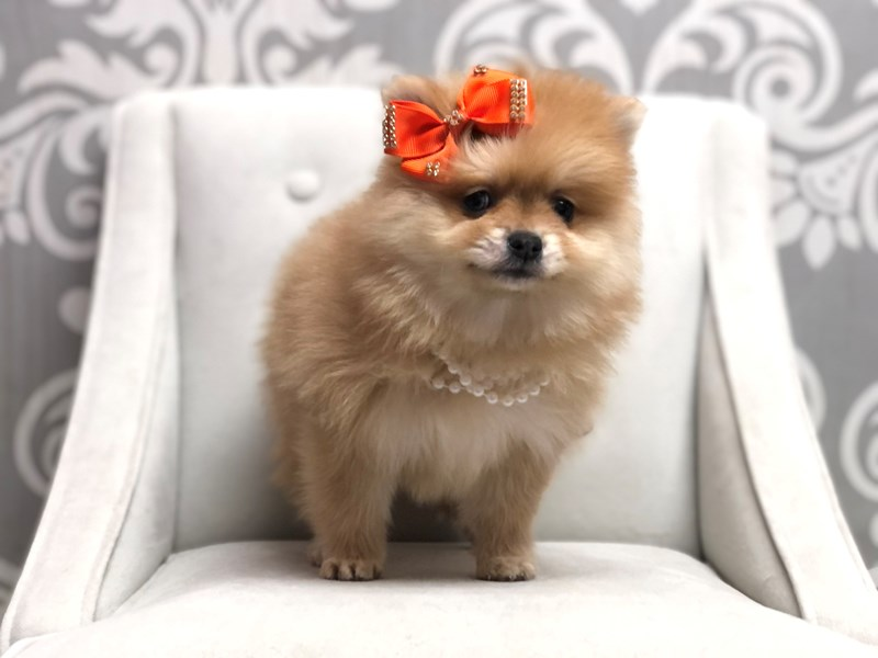 Pomeranian-Female-Org Sable-3046173-Furry Babies