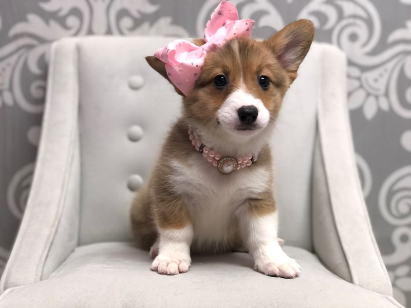 Pembroke Welsh Corgi-Female-Sable-3046171-Furry Babies