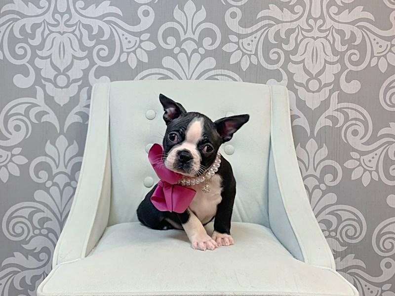 Boston Terrier-Female-BLK WH-3044810-Furry Babies