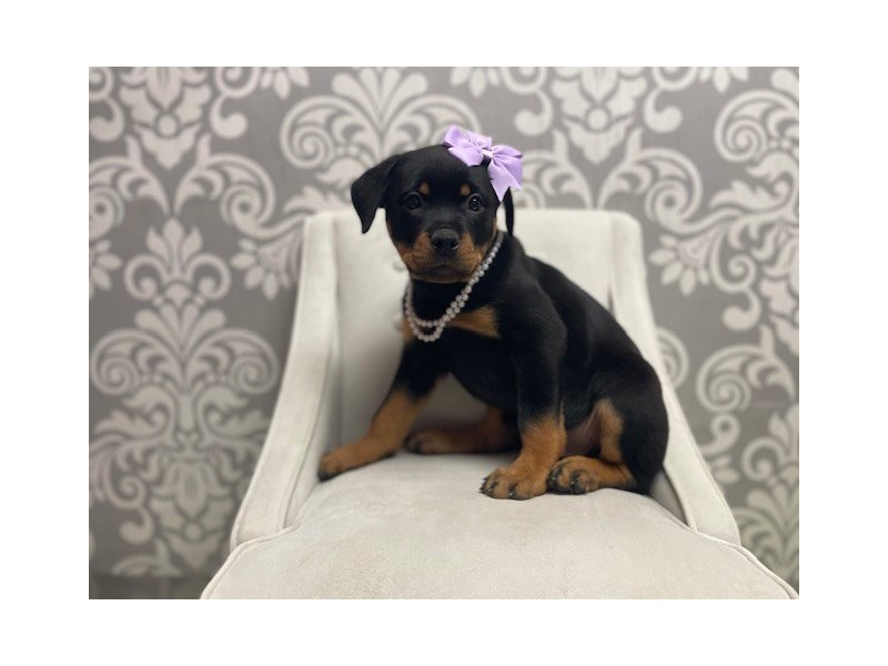 Rottweiler-Female-Black Tan-3055427-Furry Babies