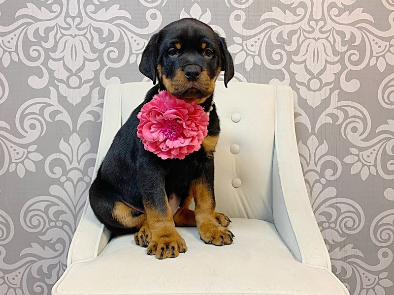 Rottweiler-Female-Black Tan-3055425-Furry Babies
