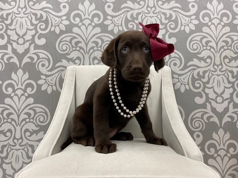 Labrador Retriever-Female-Chocolate-3055292-Furry Babies