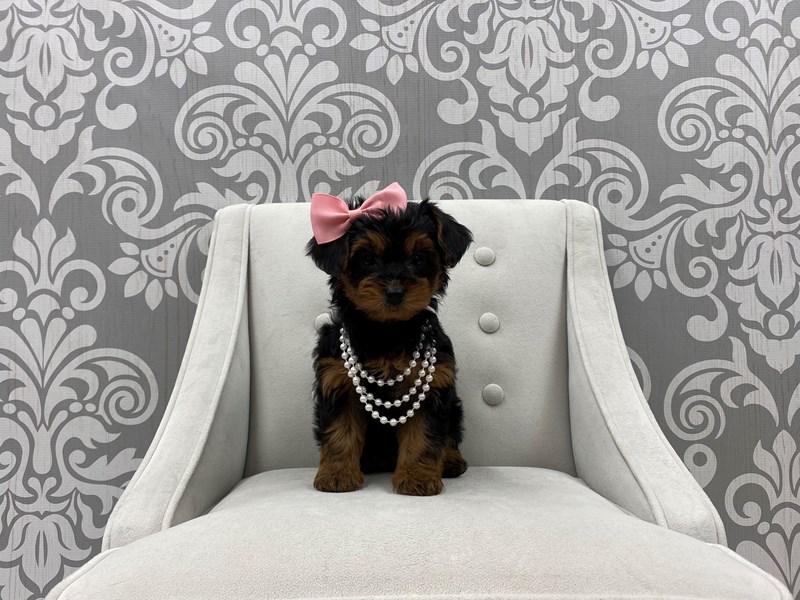 Yorkiepoo-Female-Black & Tan-3055270-Furry Babies
