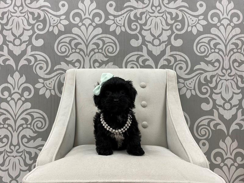 Yorkiepoo-Female-Black & White-3055342-Furry Babies
