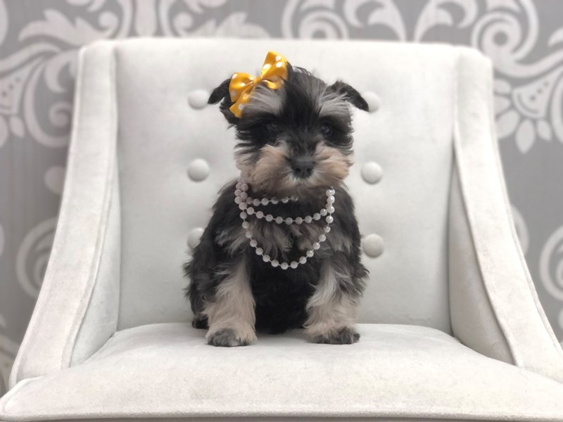 Miniature Schnauzer-Female-Black and Silver-3046169-Furry Babies