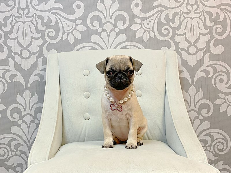 Pug-Female-FAWN-3044616-Furry Babies