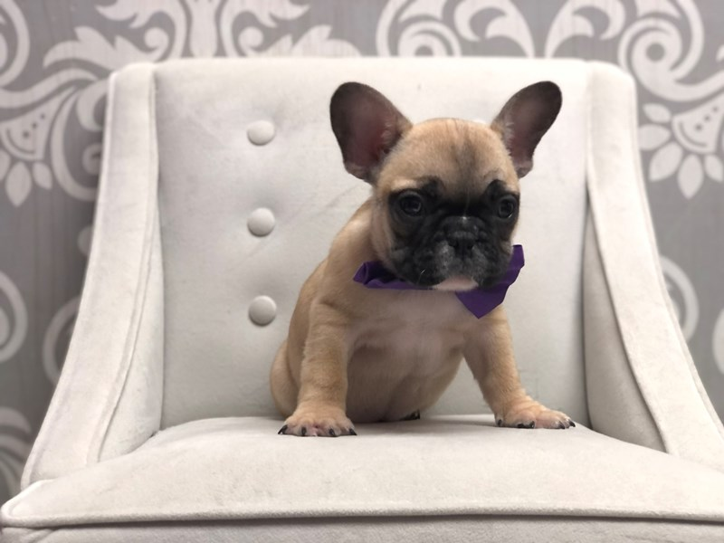 French Bulldog-Male-Fawn-3056486-Furry Babies