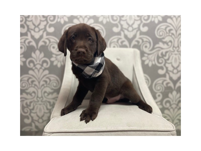 Labrador Retriever-Male-Chocolate-3055289-Furry Babies
