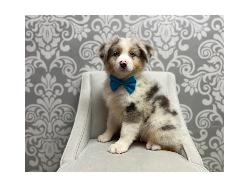 Australian Shepherd-Male-bl mrl and white-3067110-Furry Babies