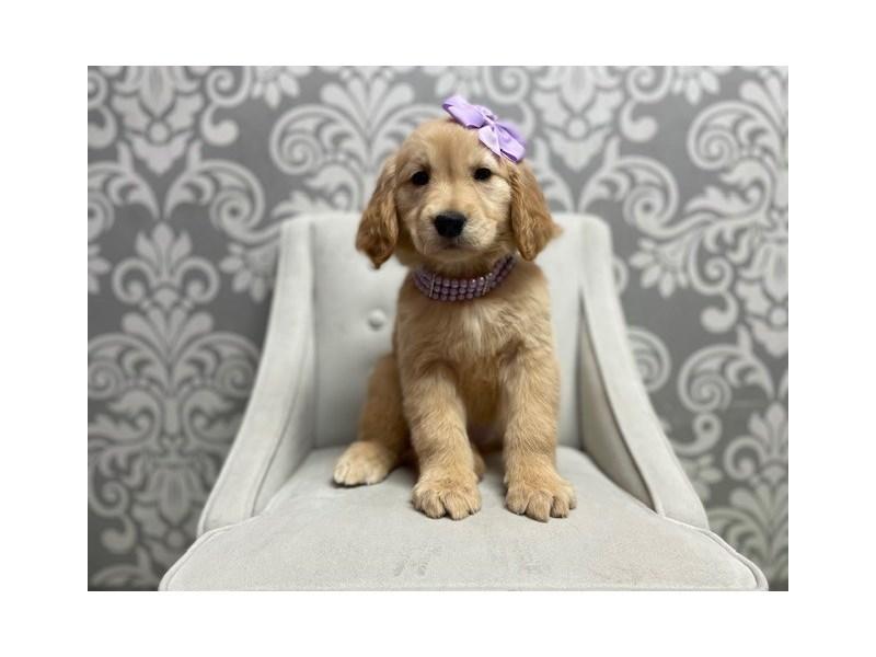 Golden Retriever-Female-golden-3067113-Furry Babies