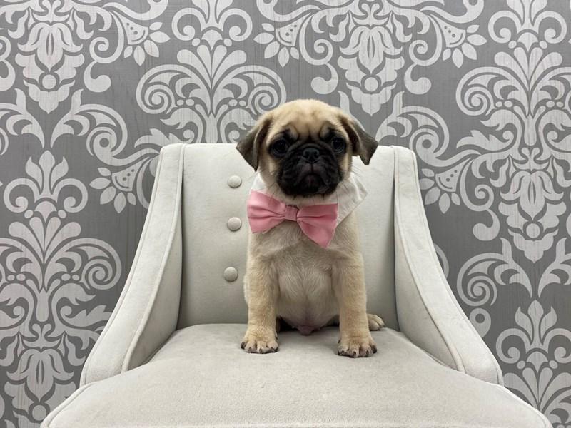 Pug-Male-Fawn-3066568-Furry Babies
