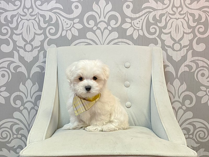 Maltese-Male-WH-3066275-Furry Babies