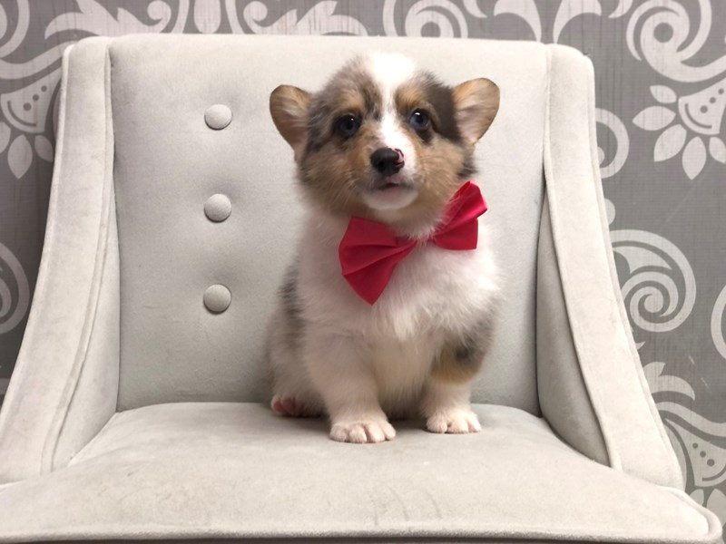 Pembroke Welsh Corgi-Male-Blue Mrl-3077981-Furry Babies