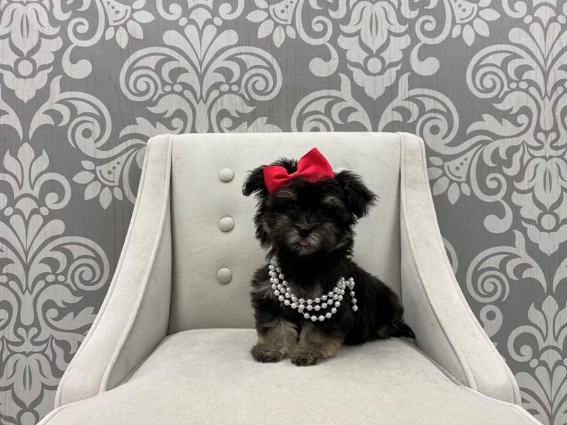 Havanese-Female-Black & Silver-3080553-Furry Babies