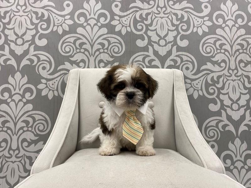 Shih Tzu-Male-Brown & White-3076864-Furry Babies