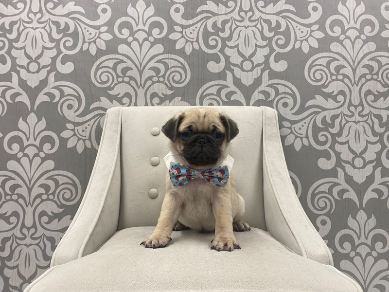 Pug-Male-Fawn-3077094-Furry Babies