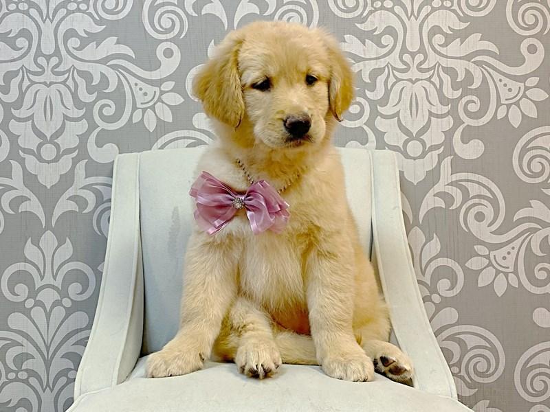Golden Retriever-Female-Gold-3076949-Furry Babies