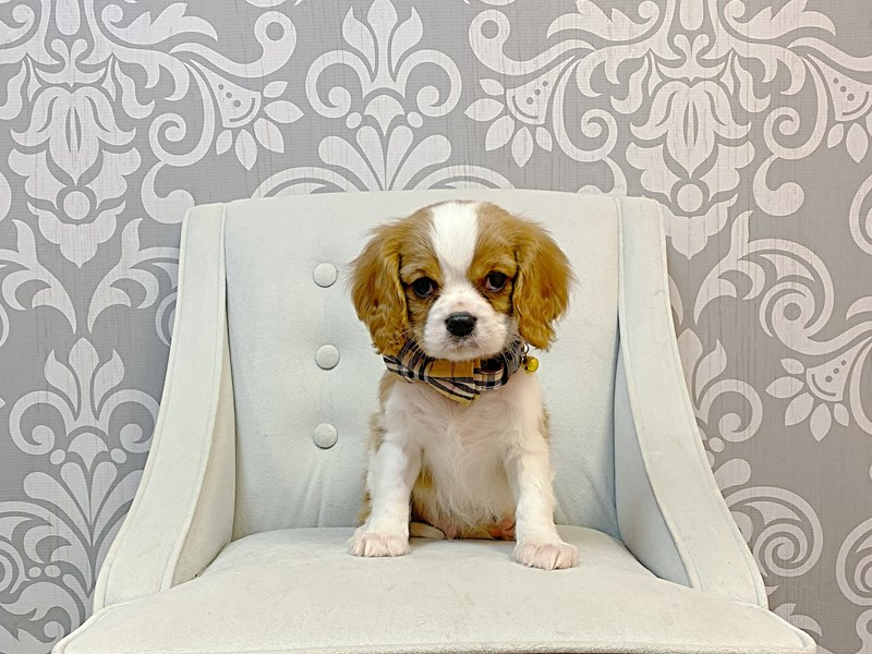 Cavalier King Charles Spaniel-Male-BLENHEIM-3076918-Furry Babies
