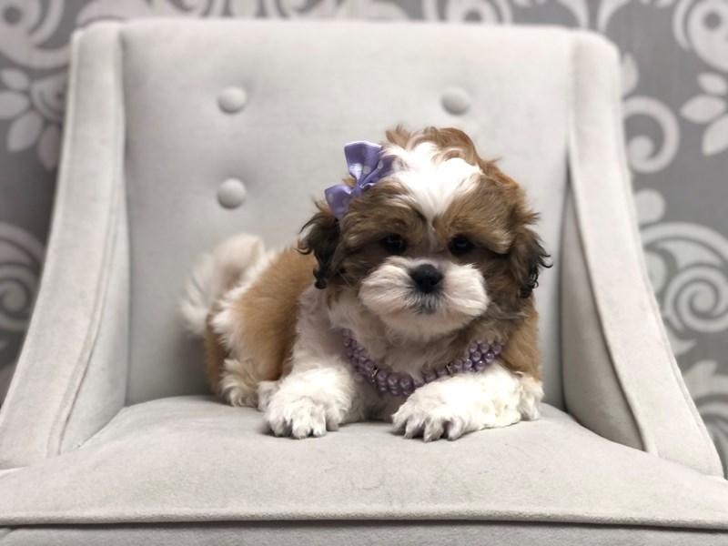 Shih Tzu-Female-BROWN WH-3076855-Furry Babies