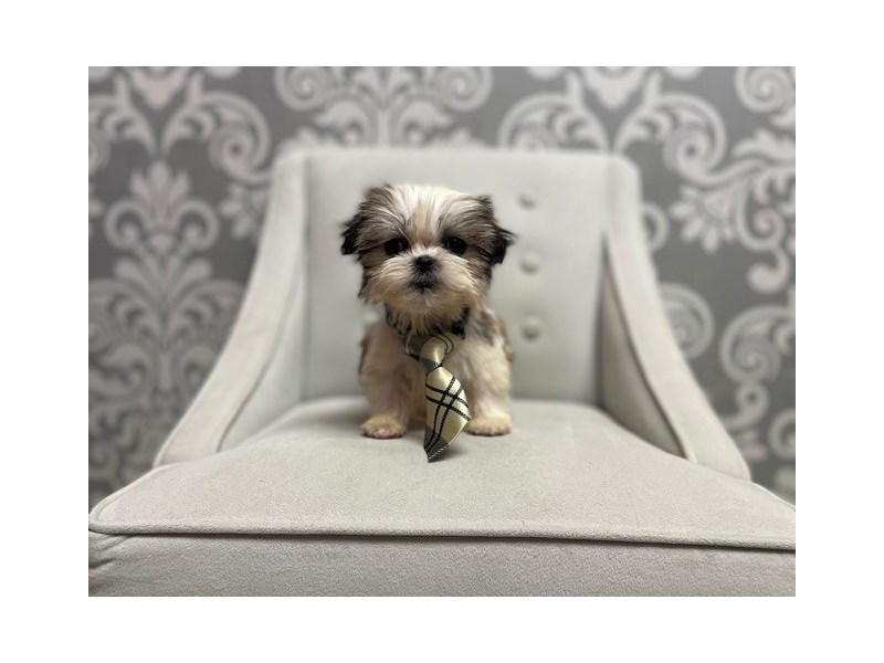 Shih Tzu-Male-Gold and White-3088577-Furry Babies