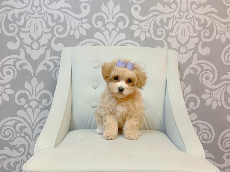 Bichon Poo-Female-APRICOT-3087684-Furry Babies