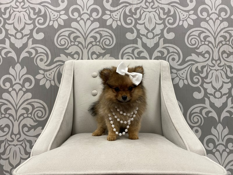 Pomeranian-Female-Red Sable-3087997-Furry Babies