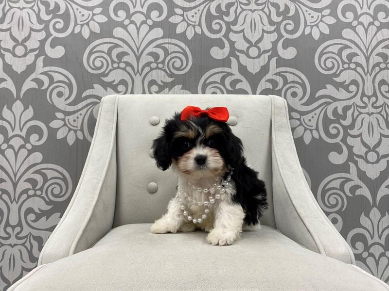Cavachon-Female-Black & White-3087858-Furry Babies