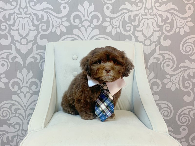 Shih Poo-Male-CHOC-3087864-Furry Babies