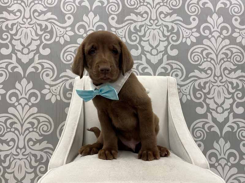 Labrador Retriever-Male-Chocolate-3087780-Furry Babies