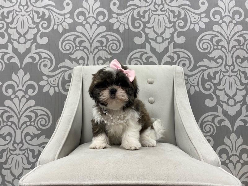 Shih Tzu-Female-Brown & White-3087748-Furry Babies