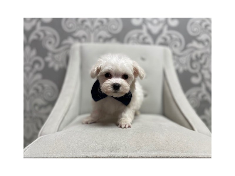 Maltese-Male-WH-3087740-Furry Babies