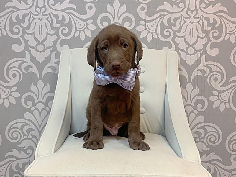 Labrador Retriever-Male-Chocolate-3066389-Furry Babies