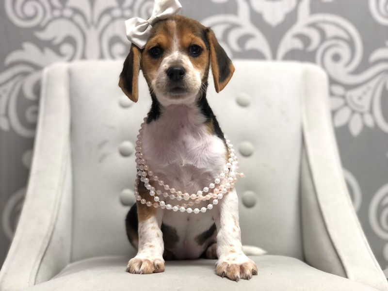 Beagle-Female-Black and White-3111129-Furry Babies