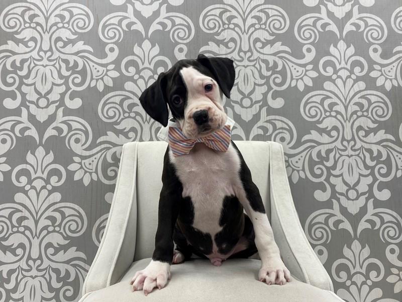 Boxer-Male-Black & White-3109941-Furry Babies