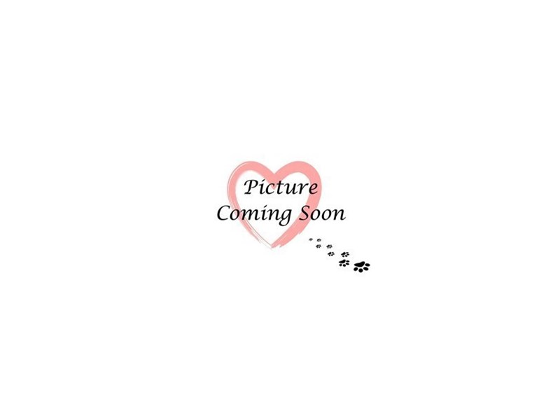 Teddy Bear-Female-Brown & White-3120714-Furry Babies