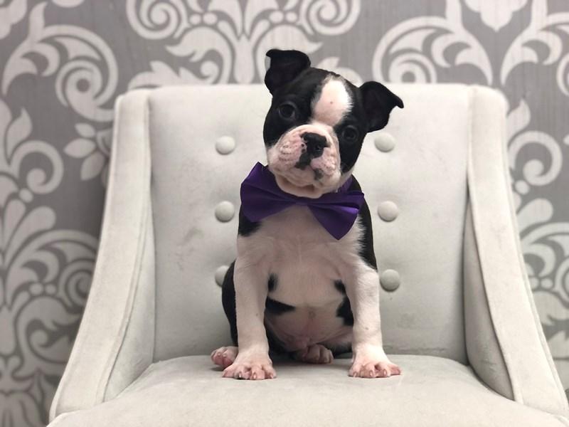 Boston Terrier-Male-Blk Brdl & Wh-3133034-Furry Babies